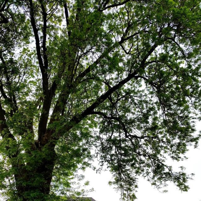 Ash Tree 1